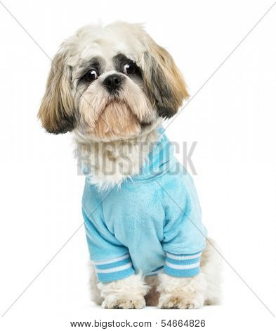 Dressed-up Shih tzu sitting, looking sad, 10 months old, isolated on white
