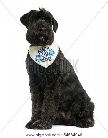 Bouvier des Flandres with bandana, sitting, 2 years old, isolated on white