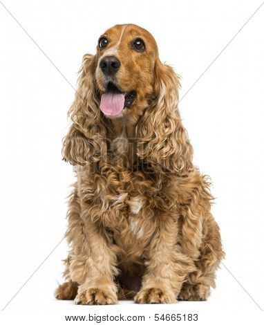 English Cocker Spaniel sitting, panting, 6 years old, isolated on white