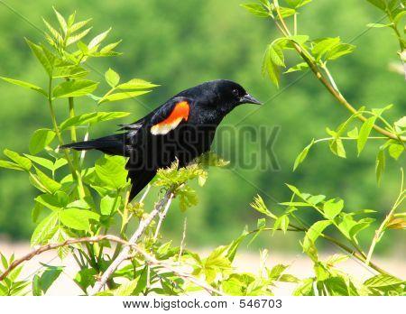 Male Redwing