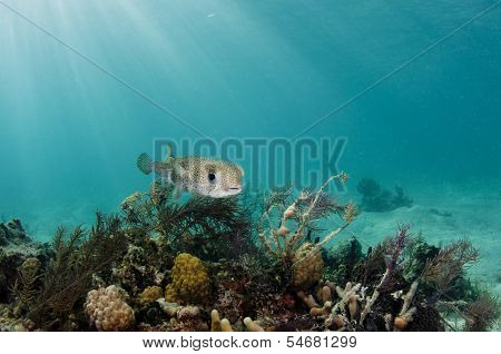 Porcupine Fish over Coral Reef