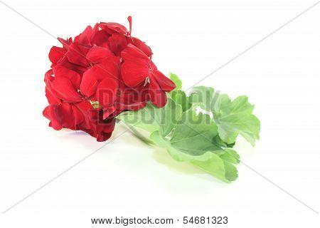 Red Geranium With Blossoms