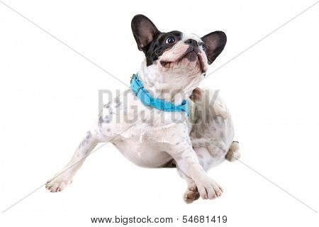 French bulldog scratching his ears over white background