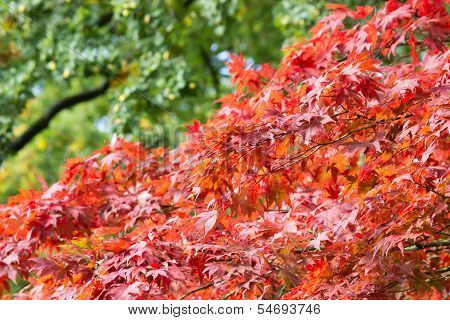 Branches with leaves in red autumn color
