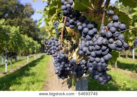 Bunches of blue grapes with path