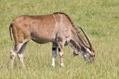 picture of eland  - A eland  - JPG