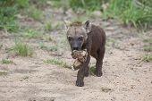 picture of hyenas  - Spotted Hyena cub carrying a bone to the den - JPG