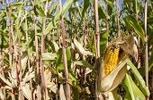 stock photo of zea  - Ripe corn plant with corncob Zea mays - JPG