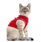 stock photo of siamese  - Side view of a Siamese with red top - JPG