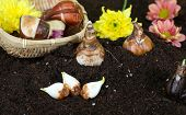 pic of humus  - Flower bulbs on humus - JPG