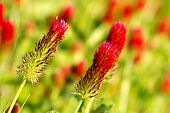 image of red clover  - Beautiful red crimson clover or Italian clover flower field (Trifolium incarnatum)