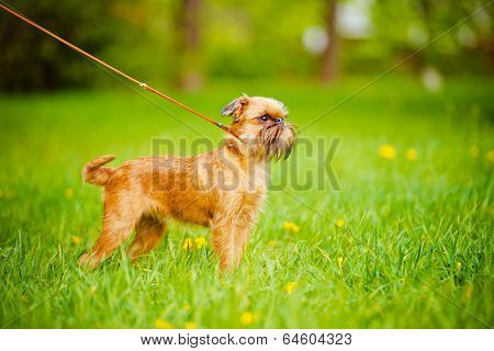 griffon puppy outdoors