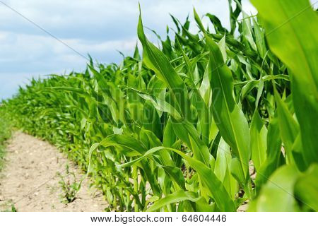 Detail Of Corn Plants On The Agriculture Field