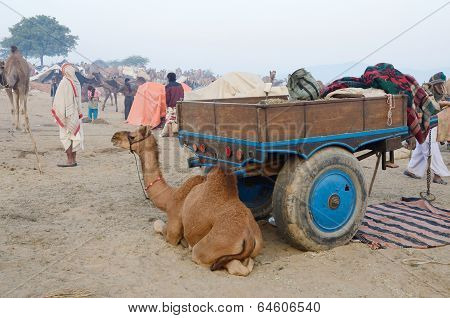 Arabian camel baby in tribal nomadic camp during cattle fair in hindu holy town Pushkar,India