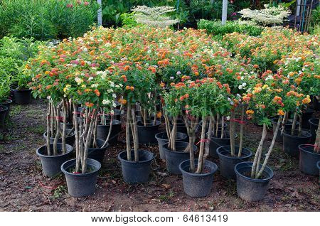 Lantana in flower pot