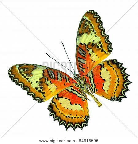 Beautiful Malay Lacewing Butterfly Lower Wing In Natural Profile Isolated On White Background