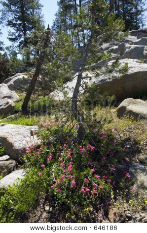Sierra Trees And Wildflowers