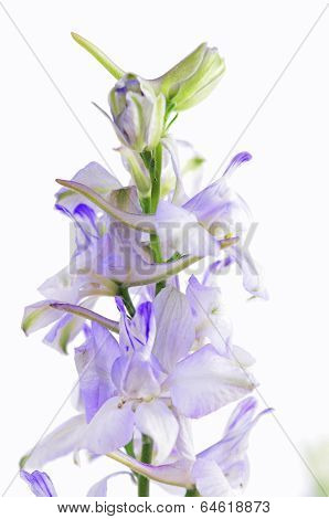 Pastel Purple Larkspur Isolated On White