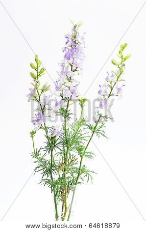 Delphinium In Crystal Vase