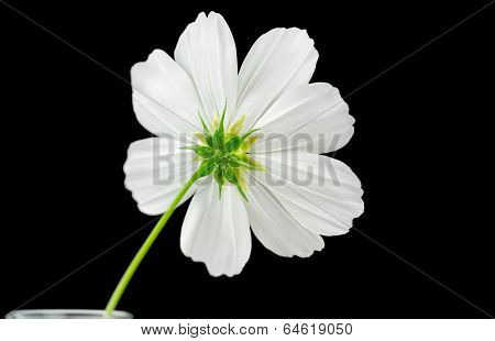 Cosmos White Sonata Flower