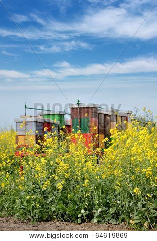 Agriculture, Canola Plant In Spring