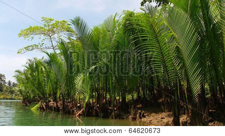 Water Palm