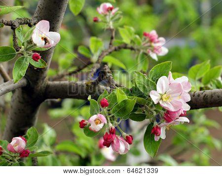 Blooming Apple-tree