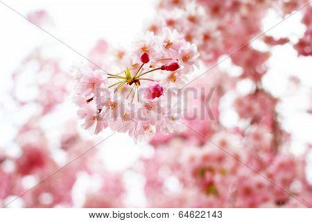 Cherry blossom sakura in Japan