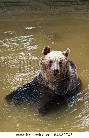 Young Bear In The Water (ursus Arctos)