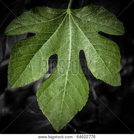 Green Fig Leaf Against Dark Monochrome Background