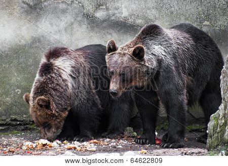 Two Bear Brothers (ursus Arctos)