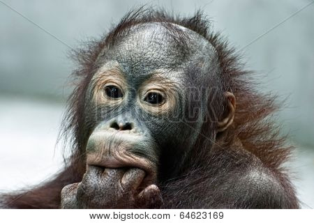 Orangutan Licking The Fingers (pongo Pygmaeus)