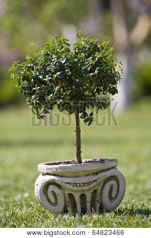 myrtle tree in old-fashioned pot