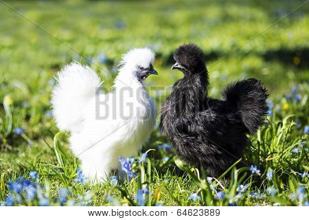 Two Hen Staring At Each Other