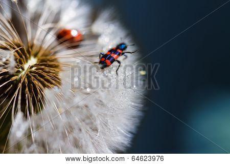 Red Bug On The Dandelion