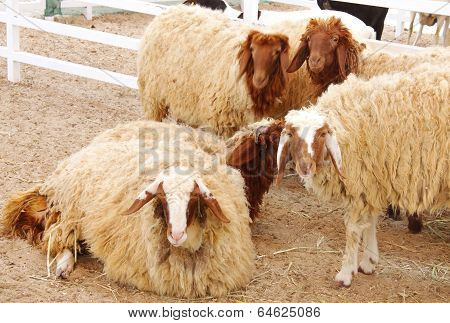 Beautiful awassi sheeps