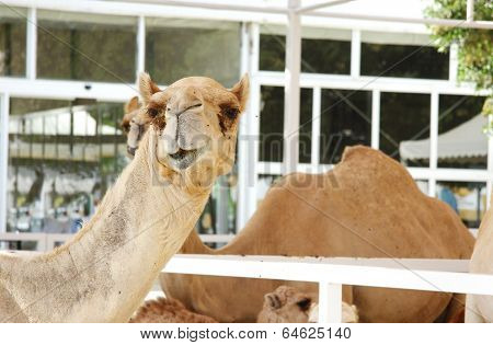 A camel stretching its neck