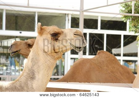 A side view of a camel face