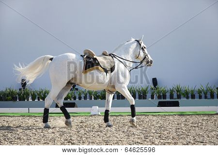 A beautiful white horse walking