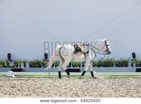 A beautiful white horse in sand arena