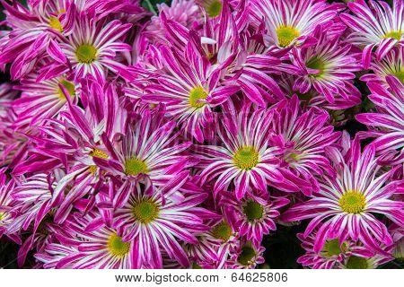 Tiger Striped Gazania flower