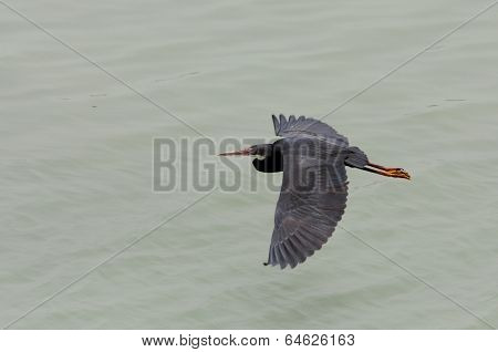 A black heron flying by spreading wings