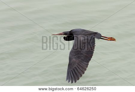 A black heron gliding