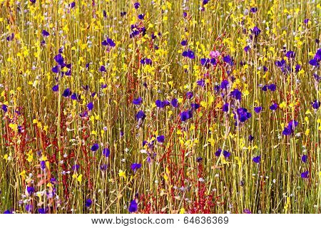 Utricularia Delphinoides Thor.ex Pell.flower Wiht Dry Grass