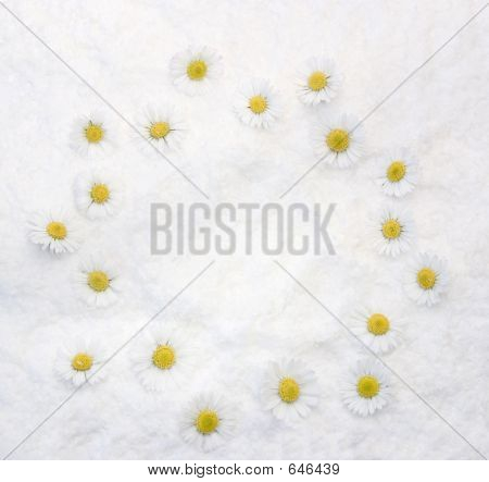 Daisies White Background
