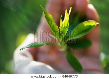 Bud Plant In Human Hand