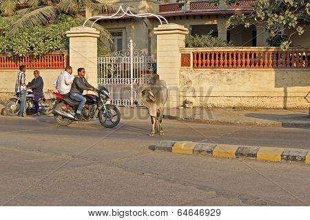 Indian Cow On A Street