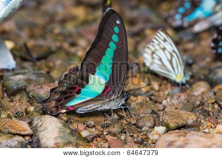 Common Bluebottle Butterfly