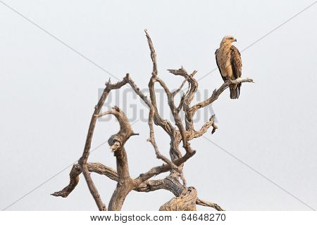 Aquila rapax perched on a branch