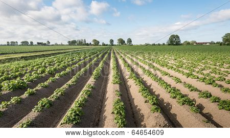 Young And Fresh Green Potato Plants In Springtime